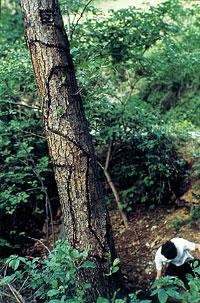 Alpes maritimes. L'arbre se souviendra du contact [Alpi Marittime. L'albero ricorderà il contatto], 1968 Arbre, fil de zinc Vue prise à un moment de la croissance de l'arbre Ph. Giuseppe Penone et Dina Carrara, 1978